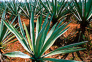 MEXICO, YUCATAN henequin plants on Hacienda Yaxcopoil