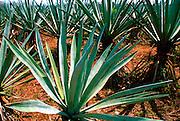 MEXICO, YUCATAN henequin plants on Hacienda Yaxcopoil