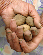 Hands of a Potato Farmer, Czech, Republic