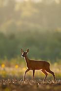 Western Roe Deer (Capreolus capreolus) adult female on a ploughed field, Norfolk, UK.