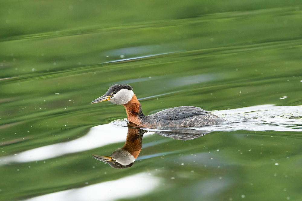 Red-necked Grebe (Podiceps grisegena) foraging in Potter Marsh in Southcentral Alaska. Spring. Afternoon.