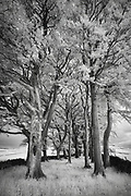 A line of trees by Edge Road, Eyam, Peak DIstrict National Park, Derbyshire, England, UK. Captured in infrared in late Spring, June, 2016.
