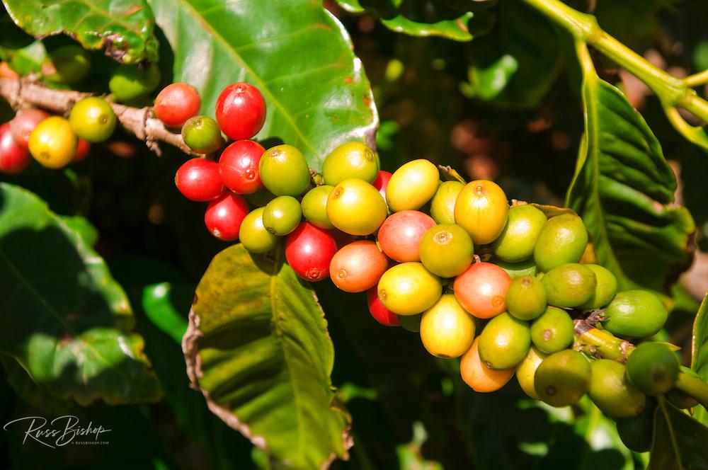 Red coffee cherries on the vine at the Kauai Coffee Company, Island of Kauai, Hawaii