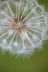 Close up of a dandelion clock - Taraxacum seed