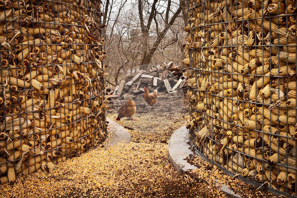Amish corn storage bins and free range chickens on a farm near East Earl, PA