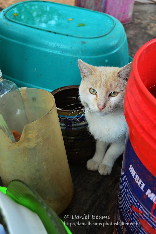 Guarani cat