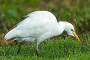 Cattle Egret (Bubulcus ibis)  on grass with dew drops at early morning, Israel