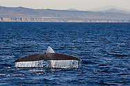 Blue Whale, Balaenoptera musculus, Dana Point, California