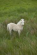 Pony in County Clare, Ireland