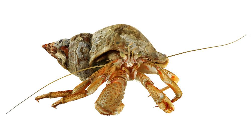 Hermit Crab - Pagurus bernhardus