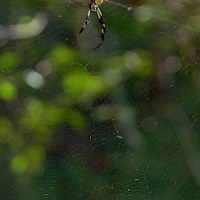 A Golden Silk Spider in its web among the trees in the Brookgreen Gardens in Murrells Inlet, South Carolina.