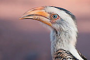 Hornbills