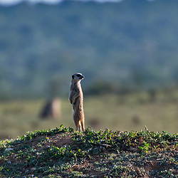 Suricata (Suricata suricatta) fotografado na África do Sul. Registro feito em 2019.<br /> ⠀<br /> ⠀<br /> <br /> <br /> <br /> <br /> ENGLISH: Meerkat photographed in South Africa. Picture made in 2019.
