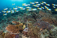 Fusiliers pass by over the reef<br /> <br /> Shot in Indonesia