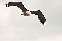 A Bald Eagle (Haliaeetus leucocephalus) (Halietus leucocephalus) soars  along Hood Canal in Puget Sound, Washington state, USA