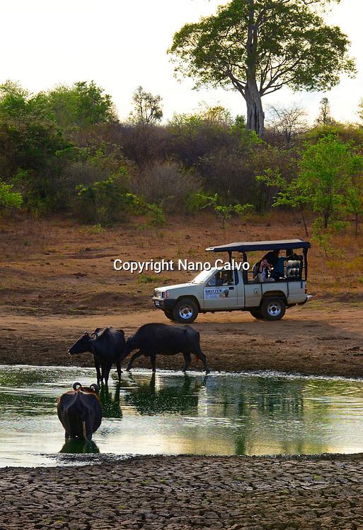 Safari jeep and water buffalos in Udawalawe National Park, on the boundary of Sabaragamuwa and Uva Provinces, in Sri Lanka.