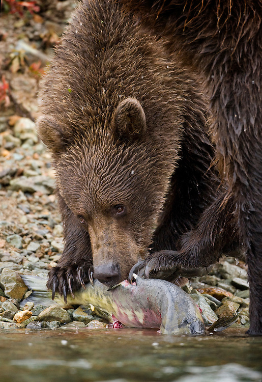 USA, Alaska, Katmai National Park, Kinak Bay, Brown Bear Cub (Ursus arctos) pulls spawning salmon from water along river bank on autumn afternoon