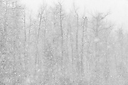 Trembling aspen  trees in snow storm<br />