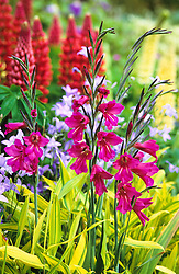 Gladiolus communis ssp byzantinus  growing through Pleioblastus auricomis in the Long Border at Great Dixter with Campanula patula and lupins in the background