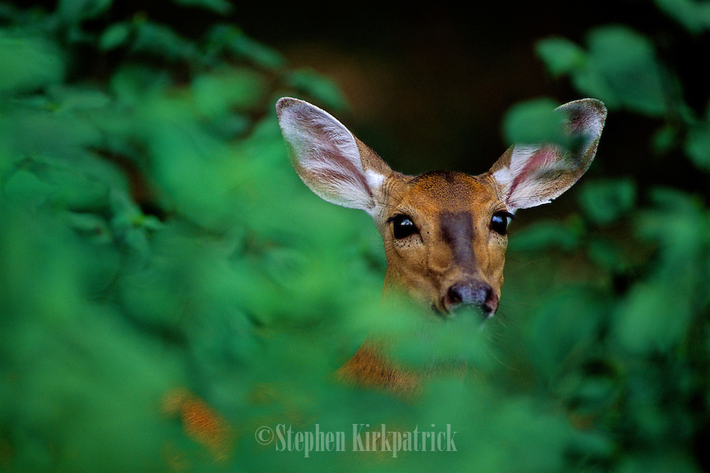 White-tailed deer looking through leaves in forest - Mississippi.