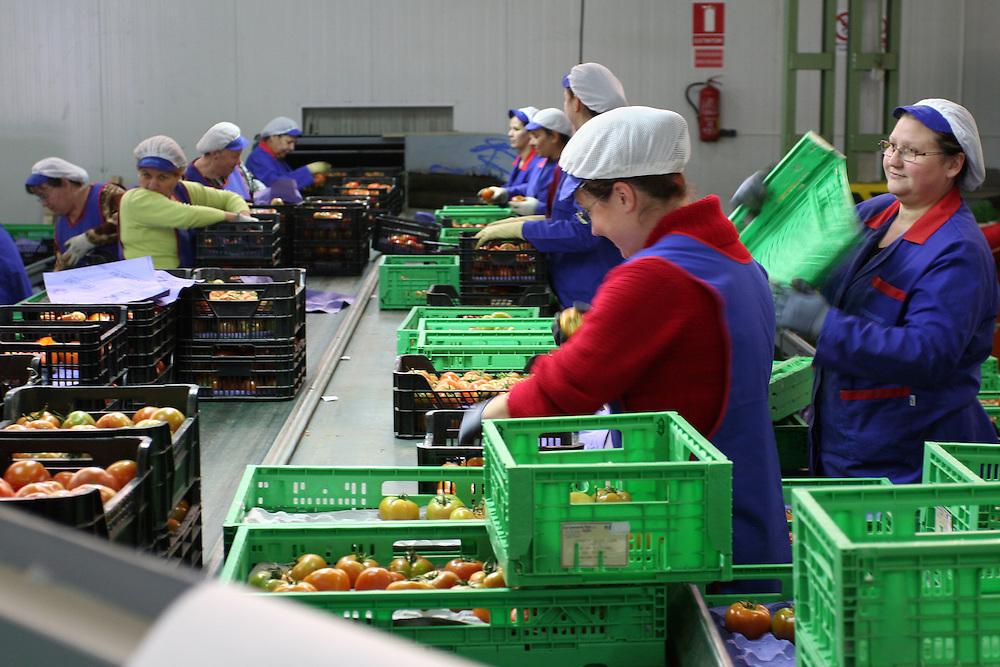"""EUROPE - SPAIN - EL EJIDO ; Illegal Immigration - VEGETABLE & FRUIT Production in Andalusia ; EL PLASTICO ; Exploitation of African workers;.The fruits and vegetables grown in the area are worth about $1.8 billion a year. Most of the workers are Moroccans, often called """"Moros"""" in reference to the Moors who ruled southern Spain for 700 years; Europa - SPANIEN - Landwirtschaft.Die Region um El Ejido, Provinz Almeria in Andalusien, gilt als Europas  größter agrarindustriell genutzter """"Wintergarten"""". Unter ca. 36.000 Hektar Plastik (Treibhäusern) wird ganzjährig Obst und Gemüse angebaut, welches zum Großteil in Supermärkten in Nordeuropa, Deutschland und England verkauft wird... Unter den Plastikplanen werden ca. 60.000, meist illegale Einwanderer aus Marokko, Schwarzafrika, Osteuropa beschäftigt. Arbeitsschutz und Mindestlöhne werden nicht eingehalten. .HIER: Versteigerungshalle für Gemüse in Campohermoso (Provinz Almeria);  für den Export, z.B. nach Deutschland bestimmte Tomaten; Firma Grupo Agroponiente - Arbeiterinnen beim Verpacken für Tomaten für den Export; auch für die Spanischen Frauen sind die Arbeitsbedingungen mies; Mindestlöhne werden nicht eingehalten....24.03.2007.Copyright: Christian Jungeblodt"""