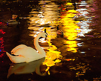 Amsterdam, Holland. Swan, ducks and neon lights reflected in a canal in the red light district.