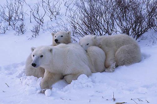 Polar Bear, (Ursus maritimus)  Mother and cubs resting. Cape Churchill, Manitoba. Canada.