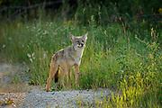 Coyote (Canis latrans)<br />Gypsumville<br />Manitoba<br />Canada