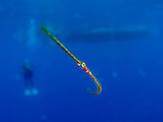 Underwater photography of a pipefish (Syngnathinae) in the Mediterranean sea off the coast of Larnaca, Cyprus