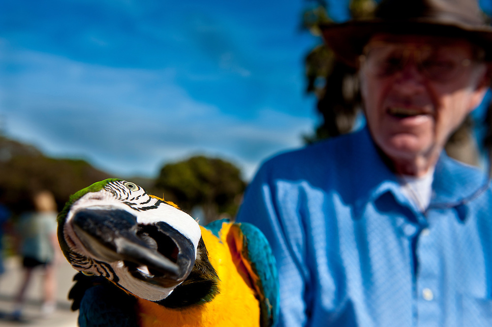 David Allan can often be found walking the beaches of Ventura Calif., with his Danny Boy, his new Blue and Gold Macaw, Ara ararauna.  Danny Boy is five years old, young for Macaws as they can live to be 80.  David is nearly that old himself and is currently trying to teach Danny Boy the lyrics to the Irish folk song of the same name.  Ventura Calif., Saturday January 15, 2011.  (Photo by Aaron Schmidt/Brooks Institute © 2011)