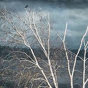 Speaking of crows