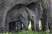 Baby African elephant stands under the it's mother for protection.