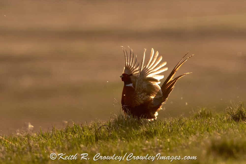 Ringnecked Pheasants during the spring mating season in prairie habitat