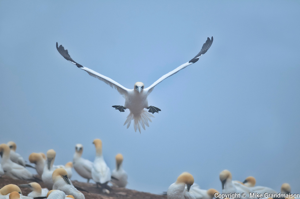 Northern gannet (Morus bassanus) in flight over colony on Bonaventure Island (Île Bonaventure). <br />