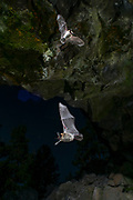 Bat (myotis sp) flying into a cave at night in Central Oregon. © Michael Durham