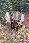 Alaskan bull moose charges the photographer.