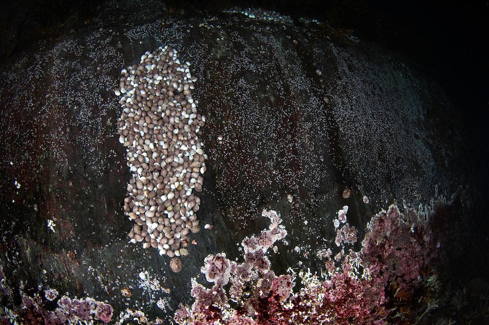 Dog whelk, Nucella lapillus, Lofoten, Norway,