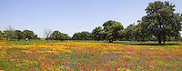 Bluebonnets, Coreopsis and Indian Paint Brush,  Rt. 95 South of Moulton, Texas