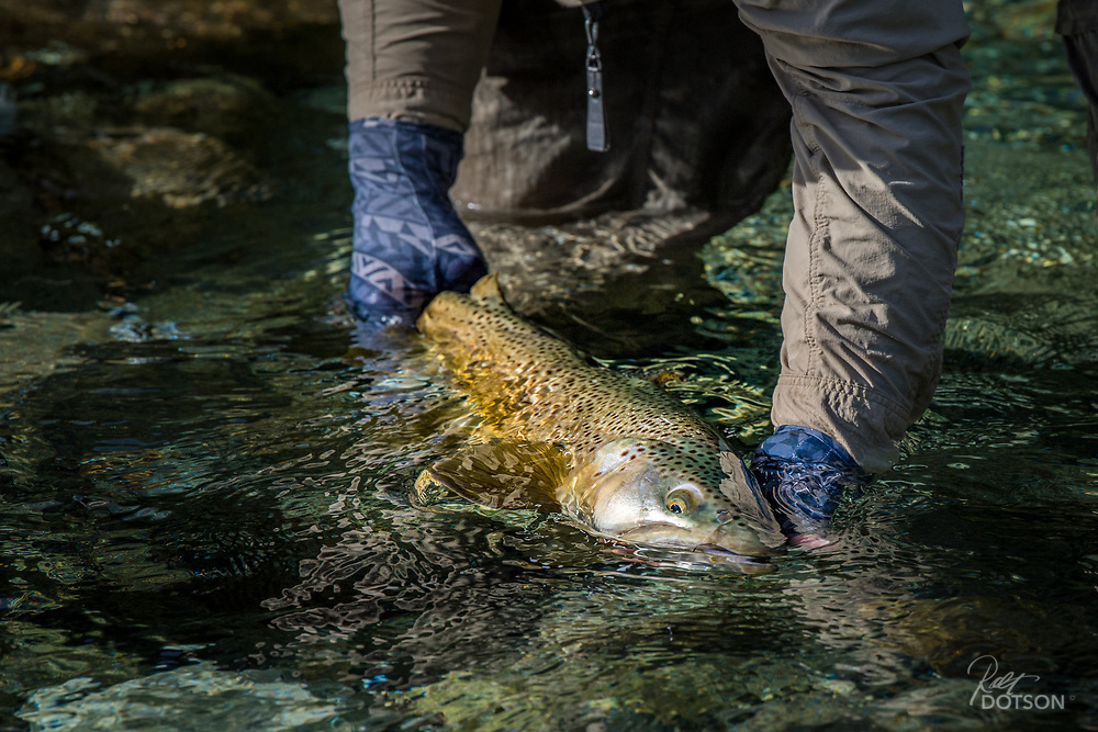 Mike Lawson releases a 7-8lb brown on NZ's Worsley.