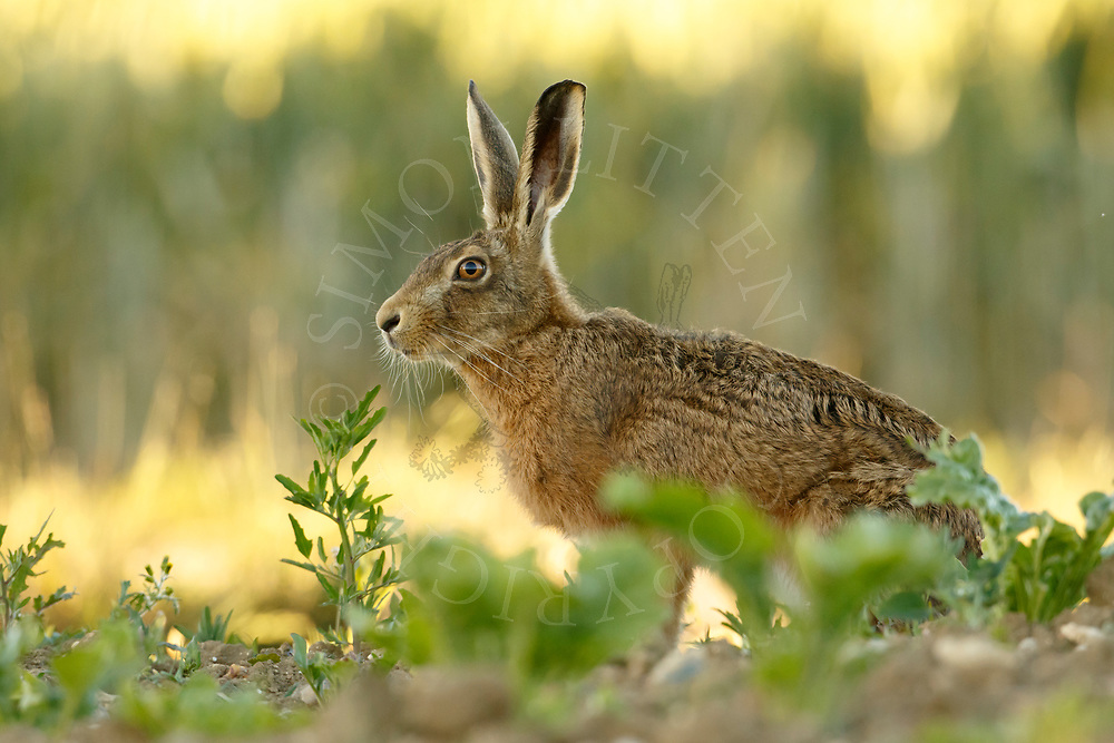 European Hare (Lepus europaeus) adult alert in sugar beet field, South Norfolk, UK. June.