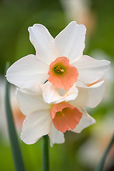 Narcissus 'Bell Song'