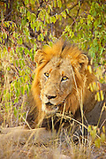 A male lion sitting in thick bush looking toward camera, tight portrait