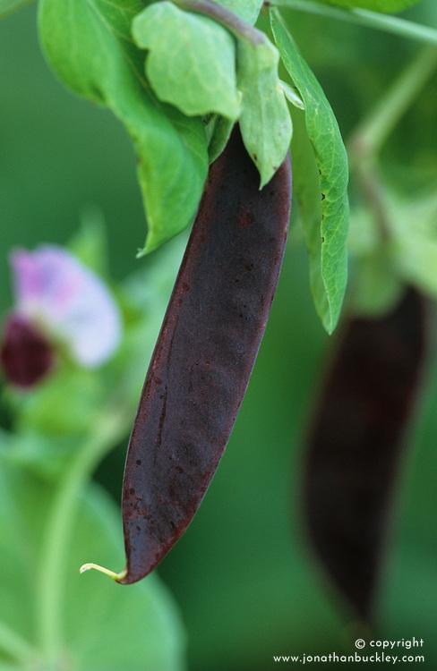 Purple podded pea - Pisum sativum