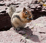 The Golden Mantled Ground Squirrel feeds in Glacier National Park, Montana, USA. Since 1932, Canada and USA have shared Waterton-Glacier International Peace Park, which UNESCO declared a World Heritage Site (1995) containing two Biosphere Reserves (1976). Rocks in the park are primarily sedimentary layers deposited in shallow seas over 1.6 billion to 800 million years ago. During the tectonic formation of the Rocky Mountains 170 million years ago, the Lewis Overthrust displaced these old rocks over newer Cretaceous age rocks.