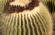 Jardin de Cactus designed by César Manrique, Guatiza, Lanzarote, Canary Islands, Spain. Cactaceae, Echinocactus grusonil,