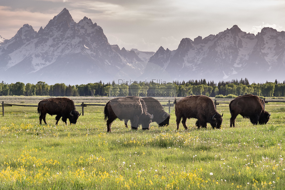 A herd of North American Bison graze in the grasslands along Elk Ranch Flats with Mount Moran and the Grand Teton mountains at the Grand Teton National Park in Moran, Wyoming.