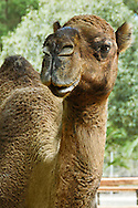 Animals, Camel close up.<br />