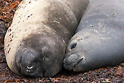Female southern elephant seals rest on a beach in the Falkland Islands