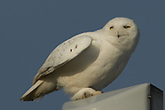 Snowy Owl Mature male