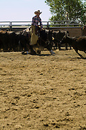 Cowboy rides Quarter Horse in cutting competition